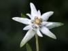 fiori-valle-aosta-04