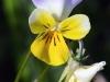 fiori-valle-aosta-06
