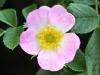 fiori-valle-aosta-09