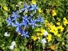 fiori-valle-aosta-14