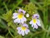 fiori-valle-aosta-15