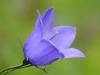 fiori-valle-aosta-18