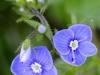 fiori-valle-aosta-20